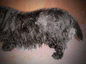 Seborrhea   Texas West Animal HealthOily Seborrhea In Dogs